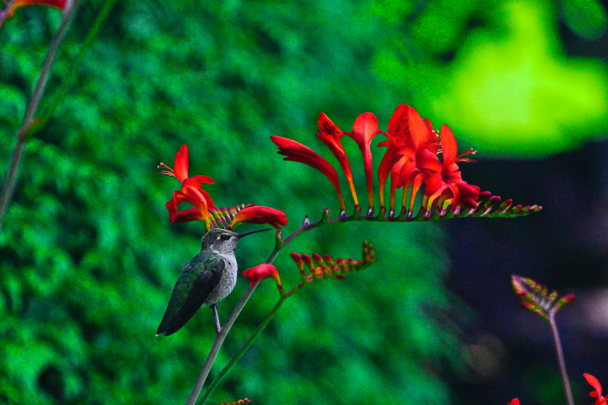 2018-07-02 Hummingbird _DSC3302 copy_